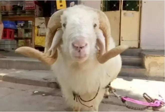 'मोदी' नाम की इस भेड की कीमत हैं 1.50 करोड़ रुपए, ऐसा क्या है इसमें खास जानिए यहां